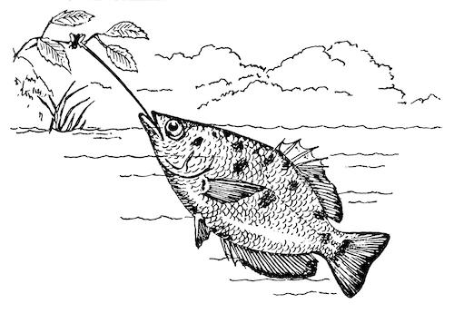 テッポウウオが獲物を狙う図