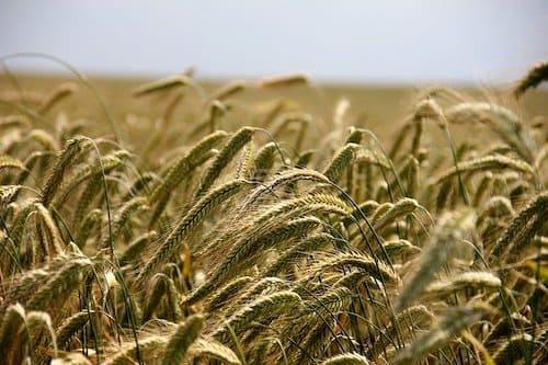 20世紀、不足の危機にあった小麦