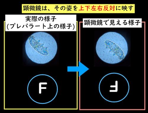 顕微鏡で見える様子と実際の様子