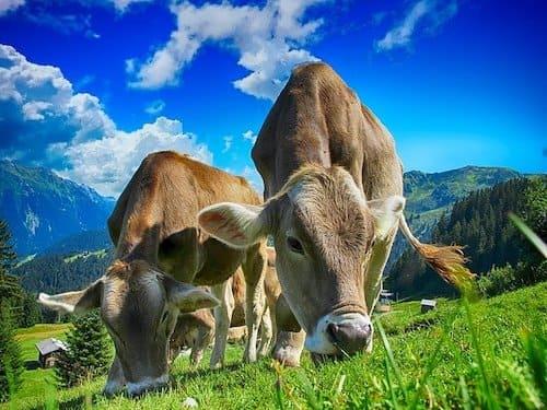 牛のゲップとメタン